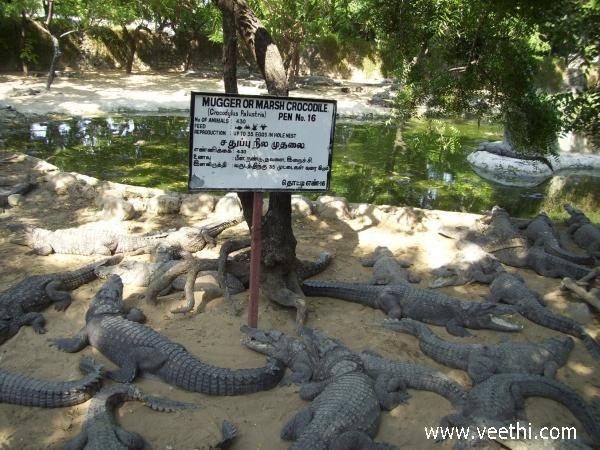 Crocodile Park - Chennai