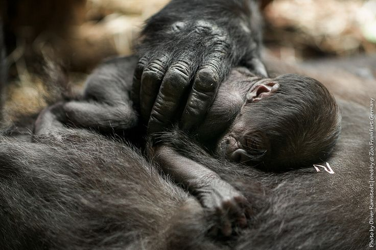 Gorilla Shiras Tochter *15.09.2016 #gorilla #frankfurt #zoo #ape