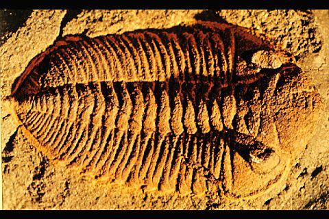 """Trilobites. Tomada de www.astrobiology.ucla.edu"""