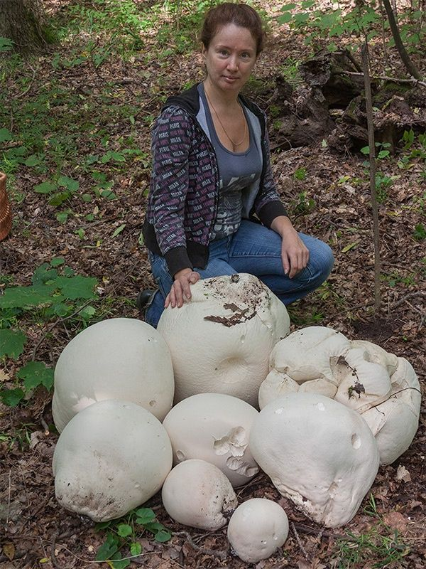 Giant Puff Ball Mushrooms, edible until their spores are emitted - easiest way to check is to slice them in half. If the interior is pure white, no pigmentation or veins, then you can have mushroom steaks.