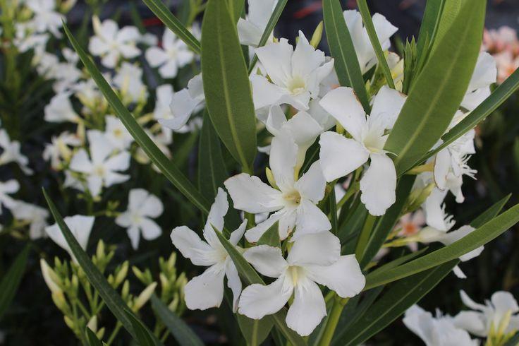 Vendita piante on line - Oleandro Bianco -