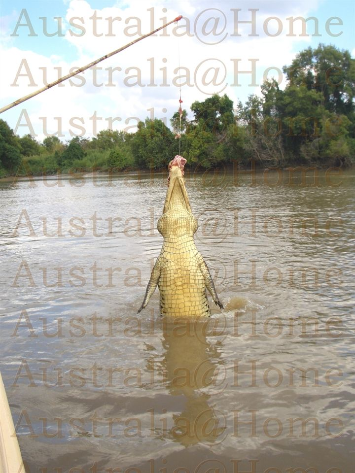 Jumping Crocodile! www.AustraliaAtHome.de