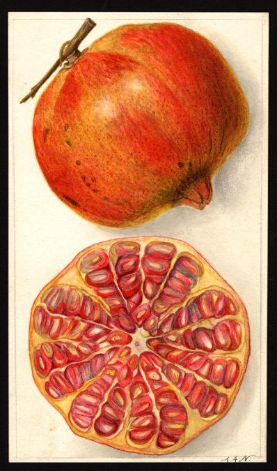 Artist:     Newton, Amanda Almira, ca. 1860-1943  Scientific name:     Punica granatum  Common name:     pomegranates  http://usdawatercolors.nal.usda.gov/download/POM00007510/screen