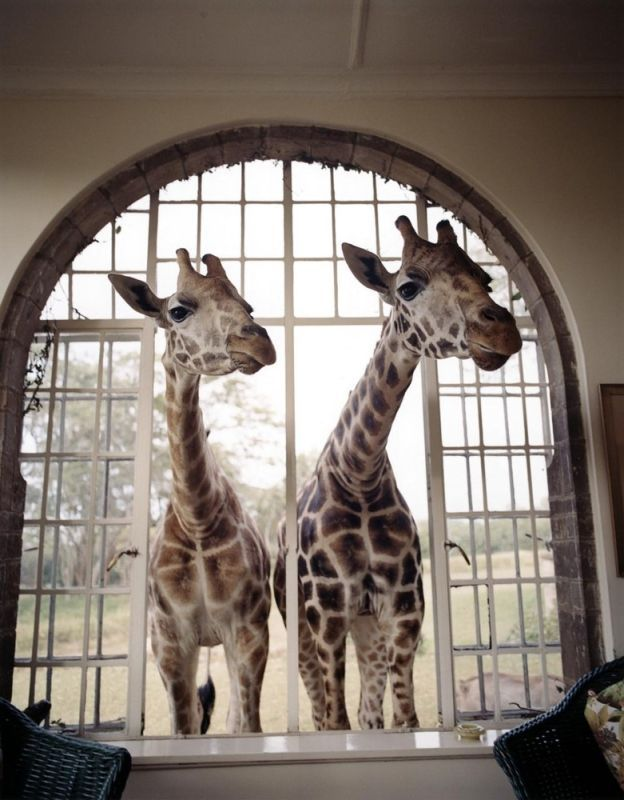 a visit from some giraffes. such beauties!