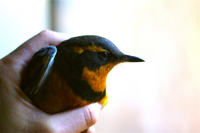 varied thrush: Photos, Hands, Hold, Pretty Things, Plume