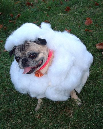 A pug dressed up as a lamb? Say it isn't so!