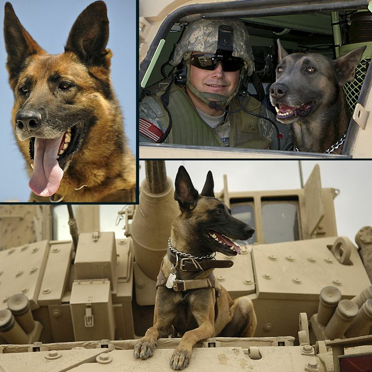 Military Working Dogs 101 - Chapter 2(h): Vehicle Patrol   The dog must ride calmly inside a vehicle displaying no aggression toward passengers or driver.
