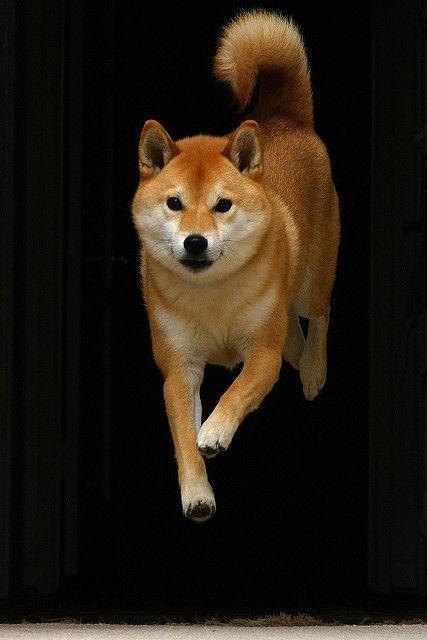 I want a Shiba Inu! As a pal for Chug, obviously.