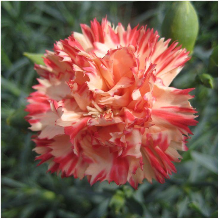 Orange Sherbet Carnation Seeds (Dianthus caryophyllus)