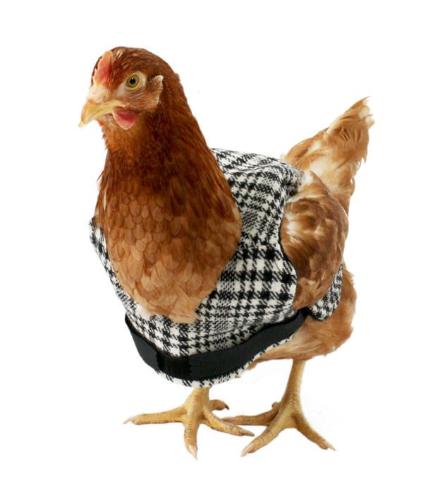 THIS IS A CHICKEN IN A TWEED VEST. Clothes for Chickens. It's a real thing!