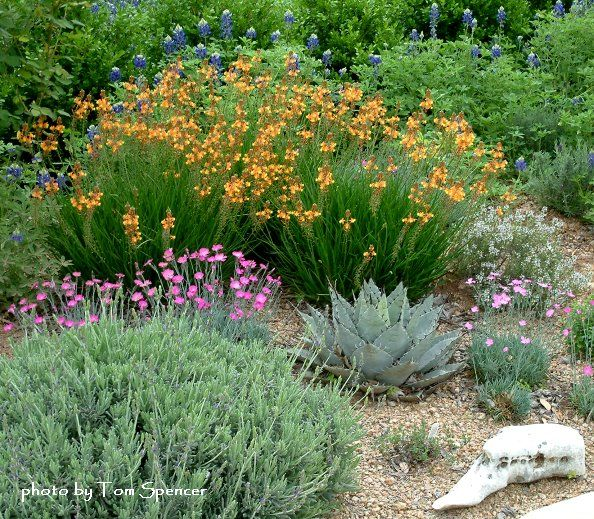 Lavender, dianthus, bulbine, bluebonnets, an agave, and more.