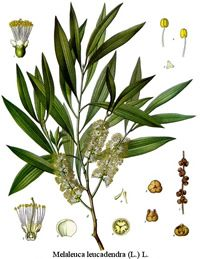 ∆ Niaouli Essential Oil... What is Niaouli Oil ? Properties & Uses:  Niaouli, Melaleuca quinquenervia, is much like tea tree in its antiseptic properties, but with a much milder, fruity aroma. The oils powerful stimulating effects make it a great daytime, energizing blend when fighting off a cold.i