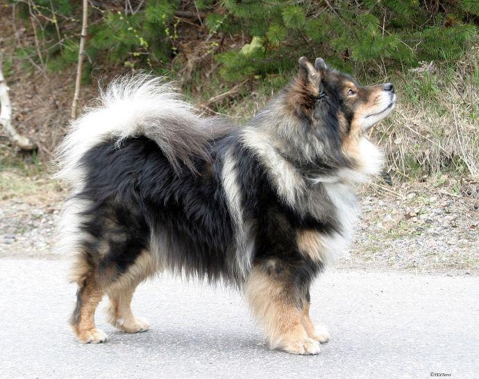 Finnish Lapphund - http://www.kennelliitto.fi/en/dogs/native-breeds/finnish-lapphund