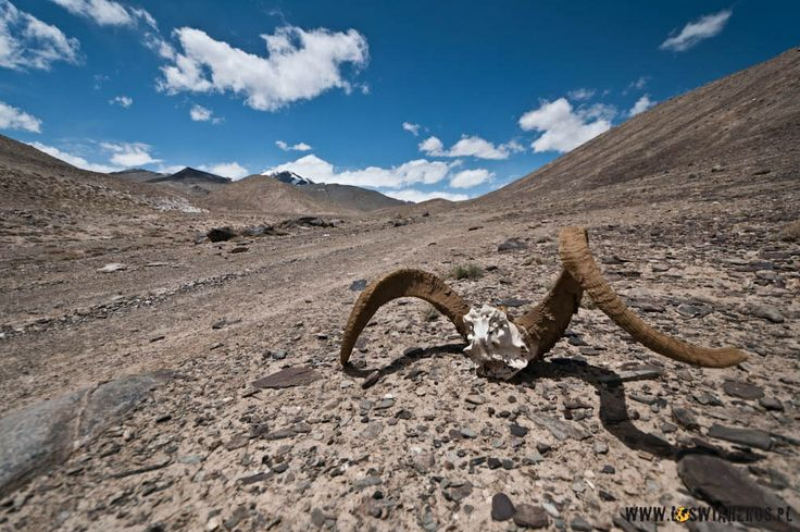 Marcopolo horns in Pamir, Tdjikistan.