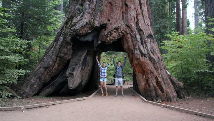 Giant Sequoia 'Tunnel Tree' in California Is Toppled by Storm By ERIN McCANNJAN. 9, 2017   - The New York Times