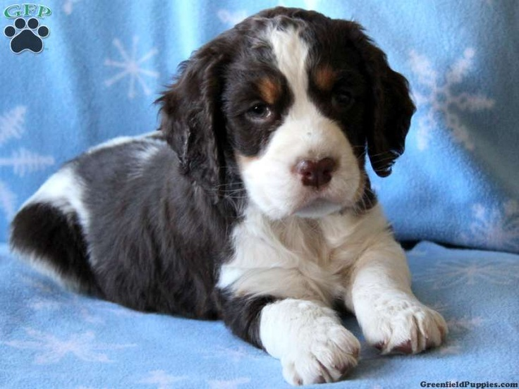 Dori, English Springer Spaniel for sale from Gap, PA