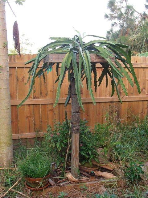 Dragon Fruit? trellis branching - Bananas.org