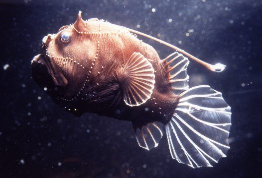 Anglerfish looking like something out of a science fiction for Angler fish habitat