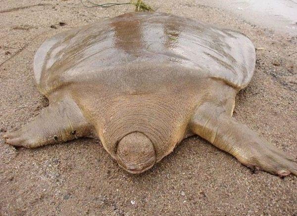 Tartaruga de casco mole-Pouco comum, essa espécie de tartaruga passa boa parte da vida enterrada na areia, apenas com a cabeça sobre a superfície, esperando para atacar crustáceos e peixes desavisados. Sua carapaça não é rígida como a de outras tartarugas.hypescience