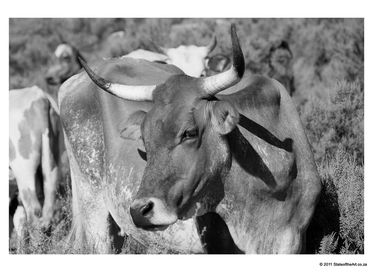 Nguni Cattle: II - Photography by Norman Collins | StateoftheArt.co.za