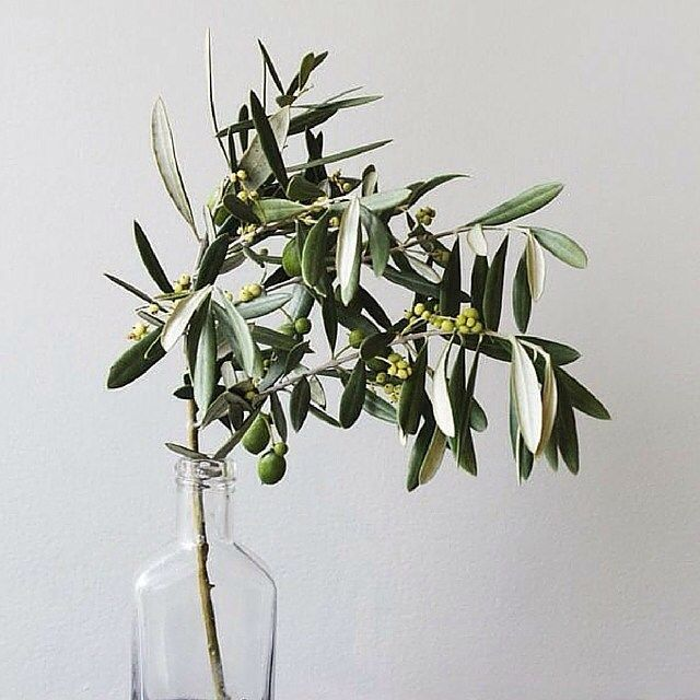 Today on the blog: We're sharing 12 Benefits of Olive Leaf Extract, nature's best kept secret!