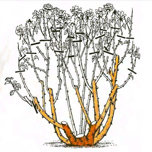 Рис. 6. Обрезка чайно-гибридных роз