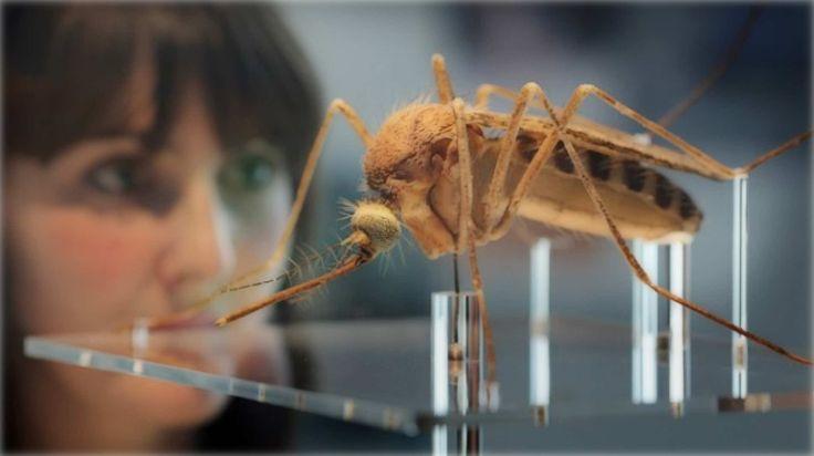 Η FDA έδωσε το πράσινο φως για απελευθέρωση μεταλλαγμένων κουνουπιών στη Φλόριντα!