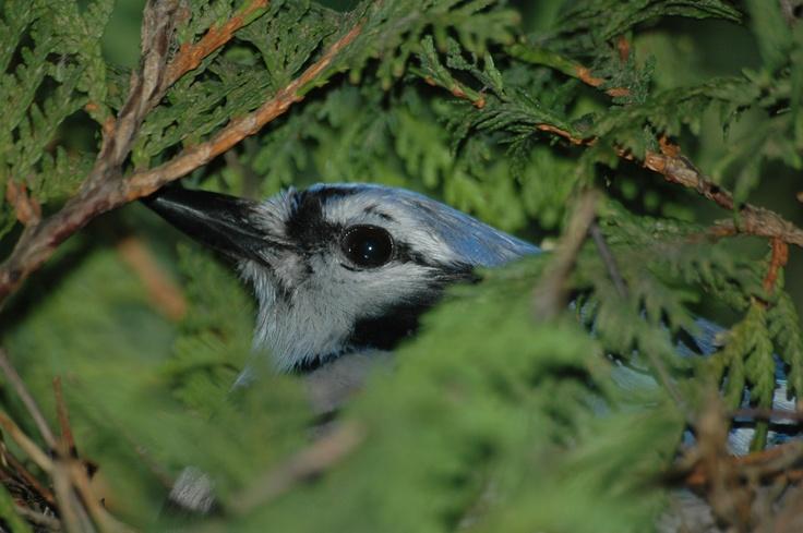 A bluejay in my Cedar tree sitting on her nest.