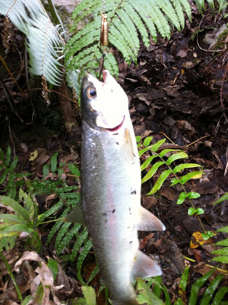 Little Tarawera River trout