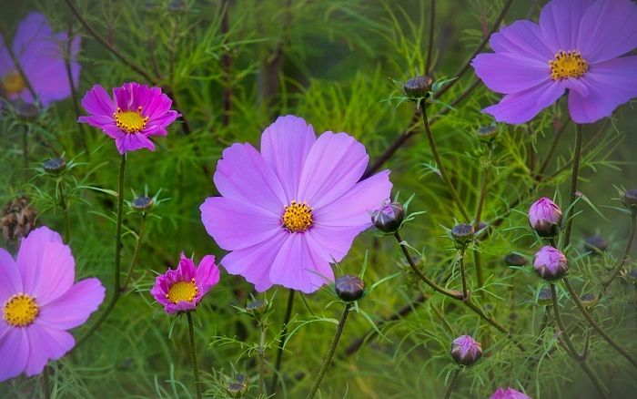 Cosmos Flower Meaning And Symbolism In 2020 Flower Meanings Flower Care Cosmos Plant