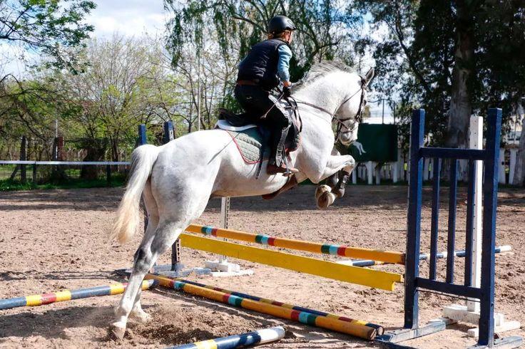 tordillo de 7 años para salto equitación alzada 1,70 metros