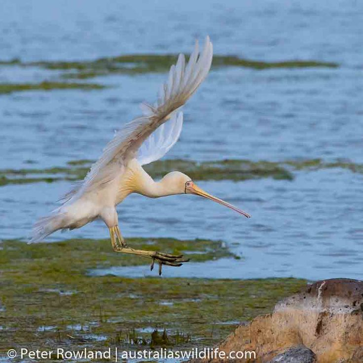 A Yellow-billed #Spoonbill moving from one rock to another while feeding in the Western Treatment Plant in #Victoria