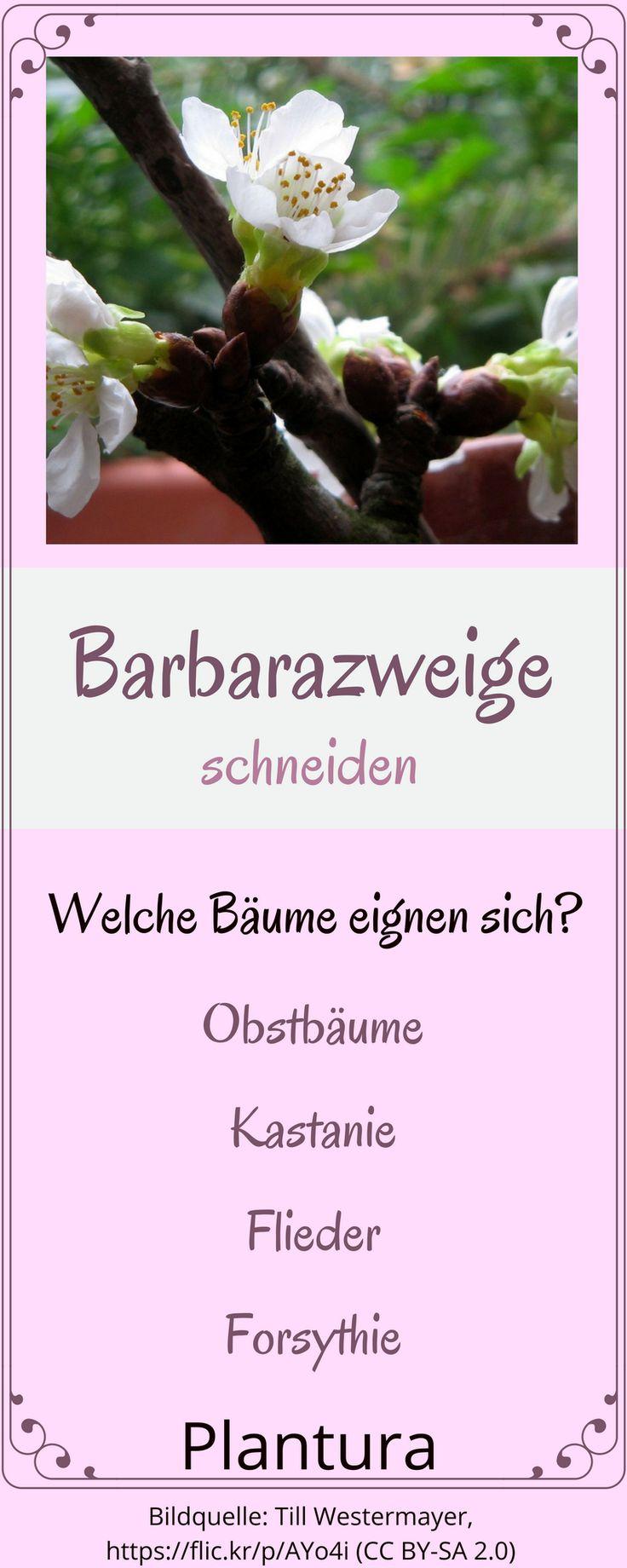 Welche Bäume eignen sich für Barbarazweige - weitere Tipps zu diesem schönen Brauch findet Ihr hier! So blühen auch Eure Zweige zu Weihnachten!