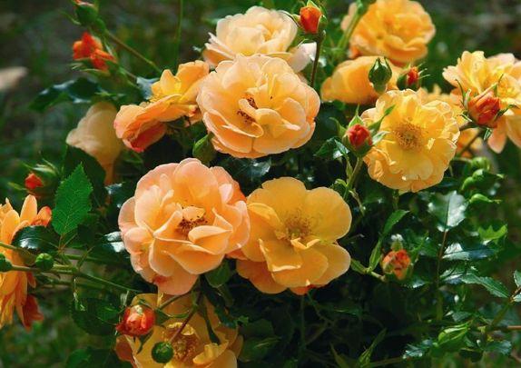 rosier couvre-sol calizia ou rosier décorosier orange calizia pot 2 litres - JARDIPLANTE