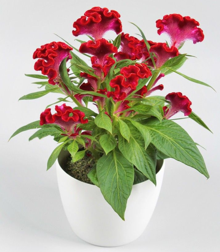 Celosia 'Twisted Red' (Celosia cristata) Are you looking for an unusual plant for your annual flower garden that looks good all season long? 'Twisted Red' Celosia has vibrant, bright red, velvety flower heads with a unique twisted and curly shape.