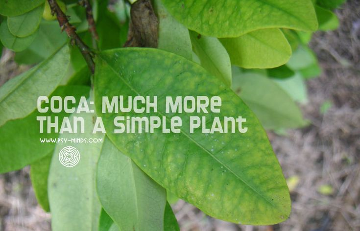 Coca Leaf: Much More Than a Simple Plant - @psyminds17