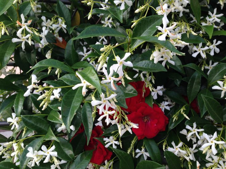 My Jasmine and Red Roses - May 2015