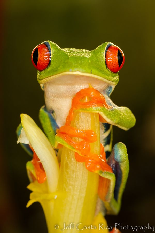 Red Eyed tree frog...tattoo inspiration