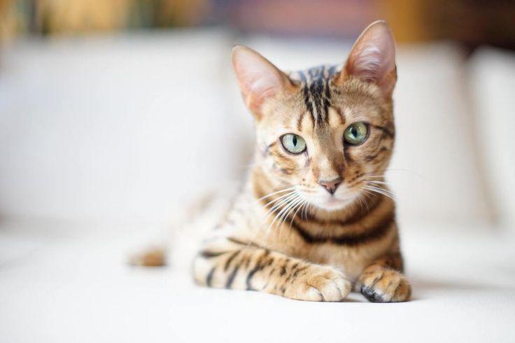 gato bengali precio
