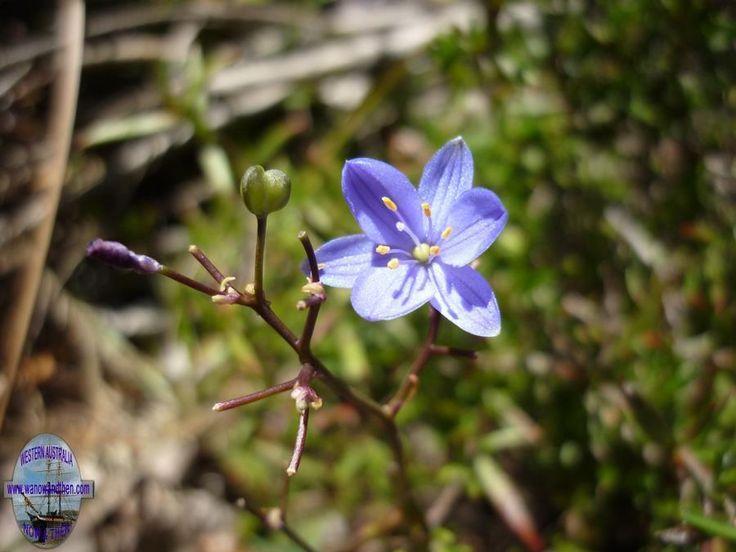 Chaemascilla corymbosa blue squill