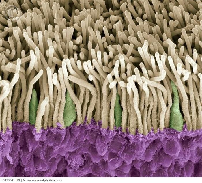 Retina. Coloured scanning electron micrograph (SEM) of rods (yellow) and cones (green) in the retina of the eye. The outer nuclear layer is purple. Magnification x1800 when printed at 10 centimetres wide. #microscope #photography #human