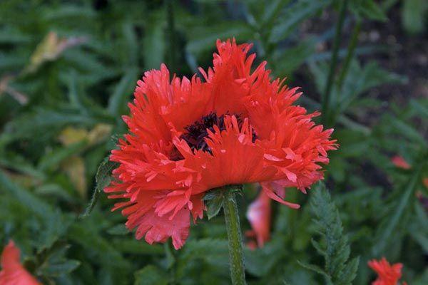 "Papaver orientale ""Turkenlouis"" - Poppy"