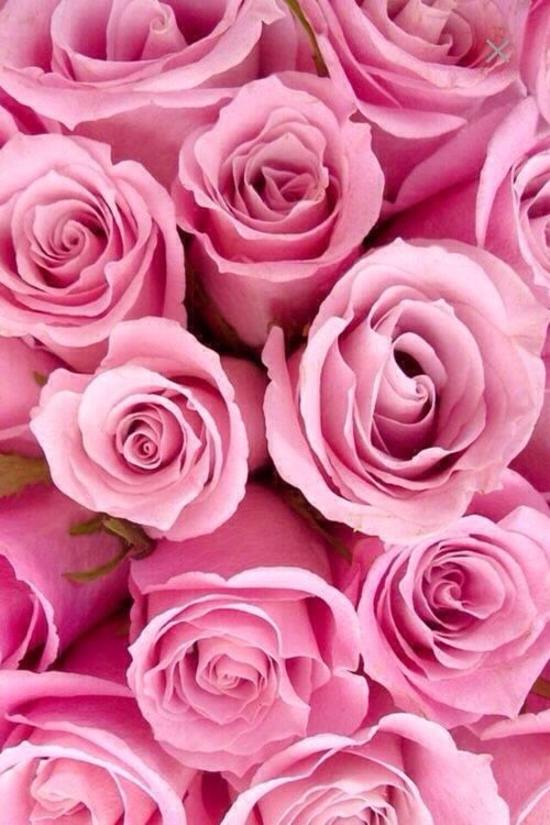pink.quenalbertini: Pink Roses from We Heart It   The Rose Garden