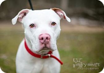Reisterstown, MD - American Bulldog/Pit Bull Terrier Mix. Meet Jimmy, a dog for adoption. http://www.adoptapet.com/pet/12758564-reisterstown-maryland-american-bulldog-mix