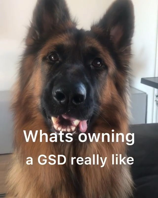 What owning a GSD is really like.