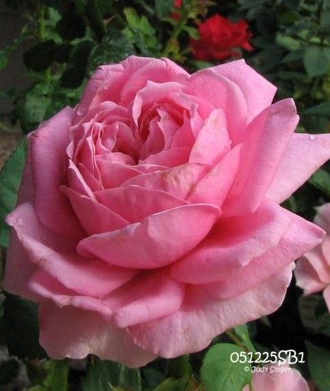 Images of most beautiful roses in the world-5945