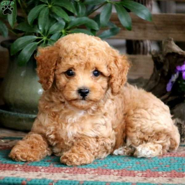 Cody Miniature Poodle Puppy For Sale In Pennsylvania Poodle