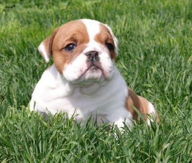 English Bulldog for sale!
