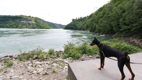 B.C. veterinarians ban cosmetic tail docking for dogs, horses