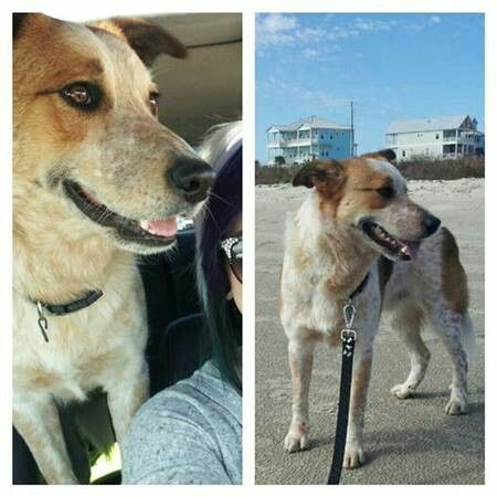 #TX #SantaFe #lostdog Missing since May 6, 2014 -Red Heeler/ border collie mix-answers to Cooper-REWARD! Call Todd Thomas at 281.827.6874  http://galveston.craigslist.org/laf/4549406078.html